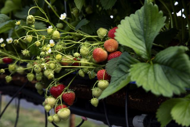 Strawberries, fruit, natural fruit